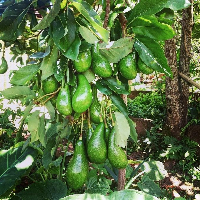 pe de abacate no sitio