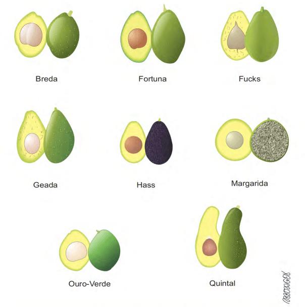 tipos de abacate