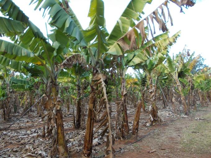 plantacao banana
