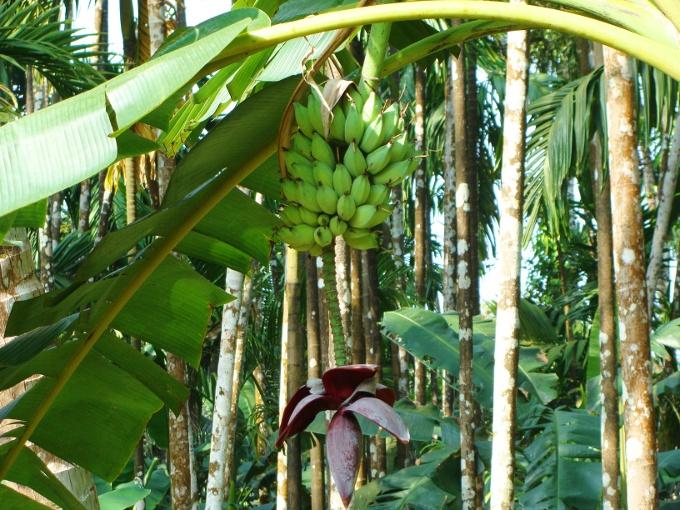 plantacao de banana