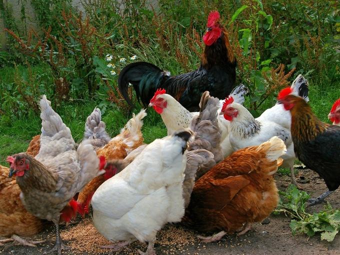 racas de galinha